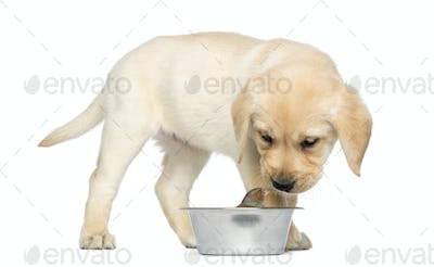 Labrador Retriever Puppy standing and looking at a Common Chaffinch in his dog bowl