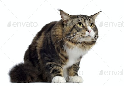 Maine coon, 10 months old, sitting and looking up, isolated on white