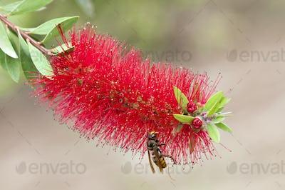 Hornet on Tropical Flower