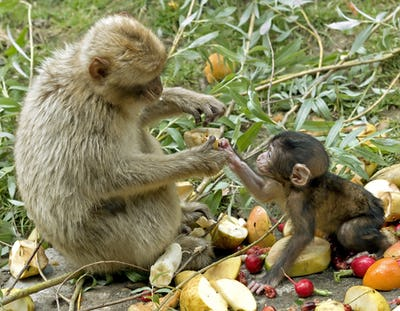 Sharing Food between Mother and Baby Monkey
