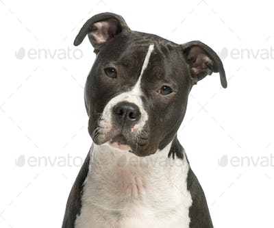 Close-up of an Amercian Staff staring at the camera, 1 year old, isolated on white