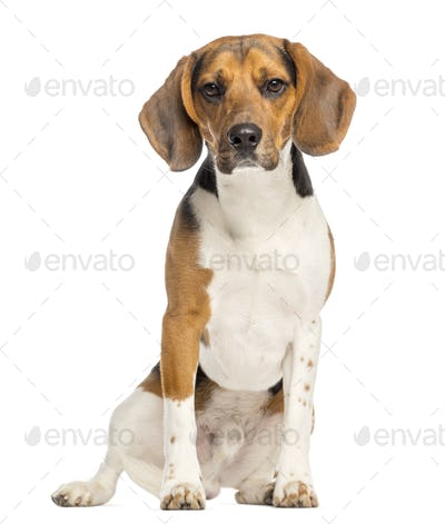 Beagle,11 months old, sitting and facing, isolated on white