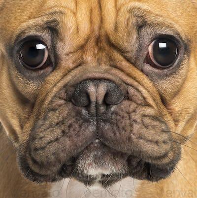 Macro of French Bulldog