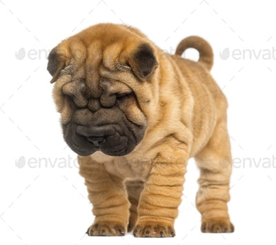 Shar Pei puppy, 2 months old, standing and looking down, isolated on white