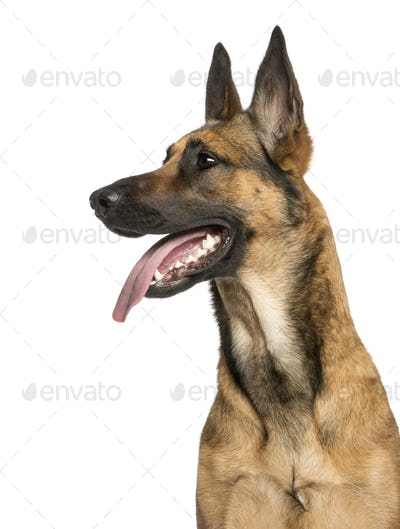Close-up of a Belgian Shepherd Dog, 1 year old