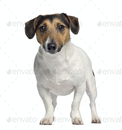 Jack Russell Terrier, 4 years old, standing, isolated on white