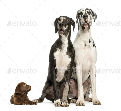 Two Great Danes sitting and looking away and puppy chocolate labrador staring at them