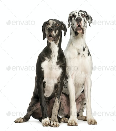 Two Great Danes sitting and looking away, 1 year old,  isolated on white