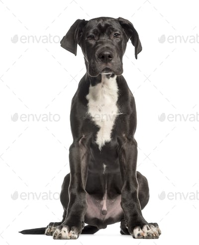 Great Dane puppy, 4 months old, sitting and facing, isolated on white