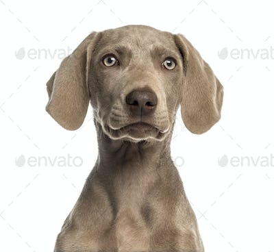Close-up of a Weimaraner puppy facing, 2,5 months old, isolated on white