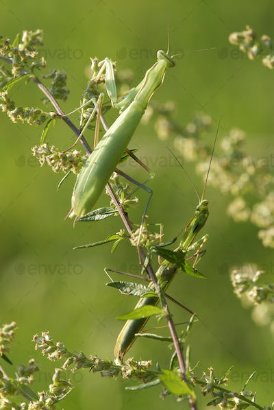 Male and Female Mantis