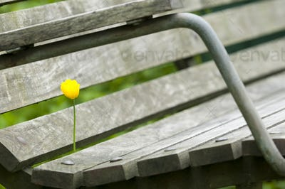 Yellow Poppy Flower in a Bench