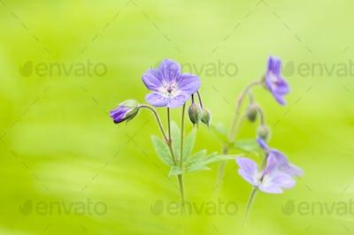 Wild Geranium Flowers