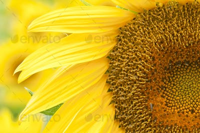 Sunflower in Full Bloom in Summer