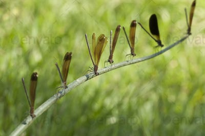Row of Perched Damselfly
