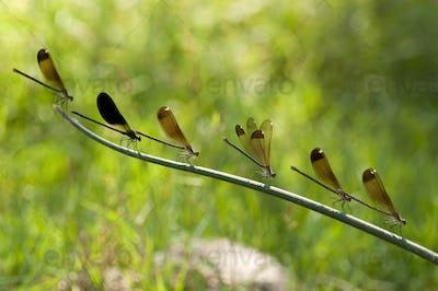 Row of Damselfly