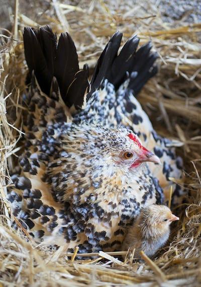 bantam chicken and chick