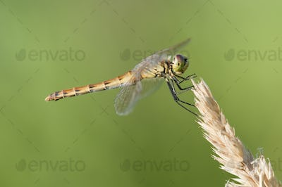 Dragonfly Perched on a Spike