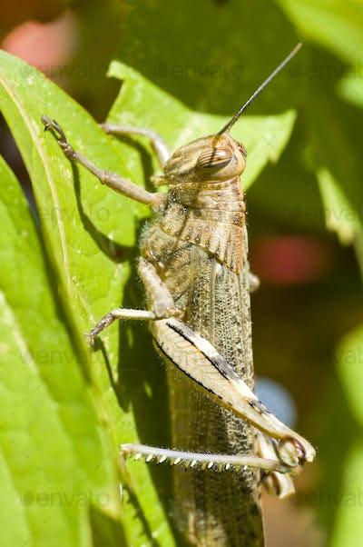 Locust detail