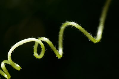 Tendril of Crawling Plant