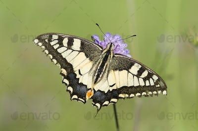Scarce Swallowtail Butterfly on a Purple Meadow Flower