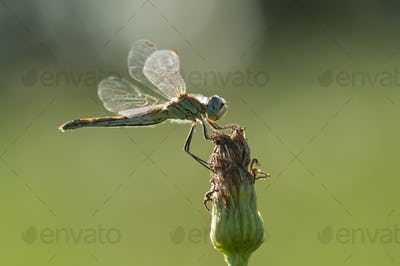 Dragonfly perched on a flower
