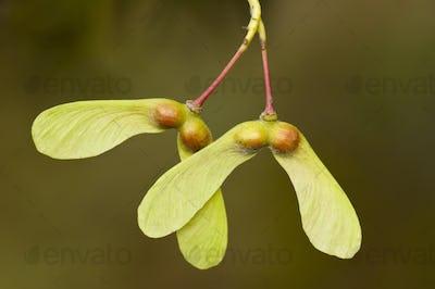 Seeds of Maple Tree