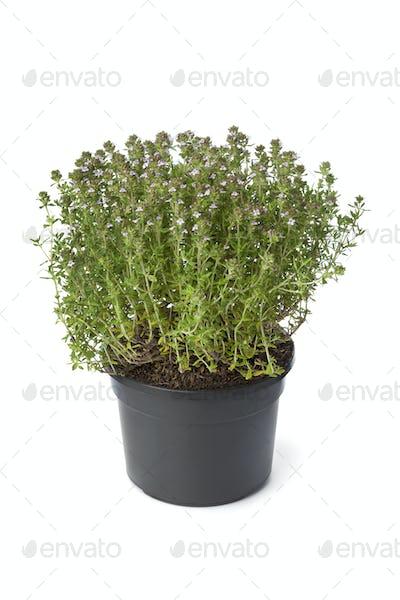 Pot of flowering thyme