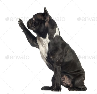 french bulldog pawing up