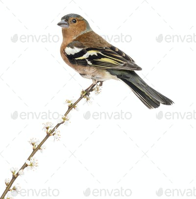 Common Chaffinch perched on branch, isolated on white - Fringilla coelebs