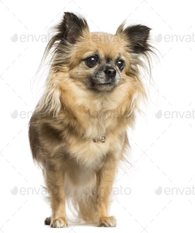 Chihuahua standing, 4 years old, isolated on white