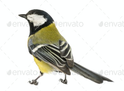 Rear view of a male great tit looking up, Parus major, isolated on white