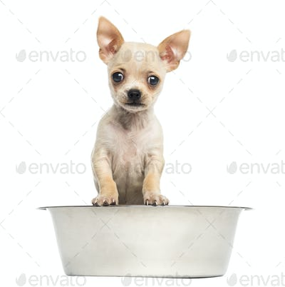 Chihuahua puppy in a big dog bowl, isolated on white