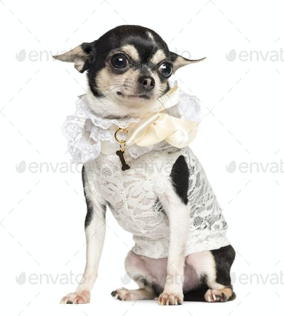 Chihuahua dressed with lace shirt, sitting, 18 months old, isolated on white