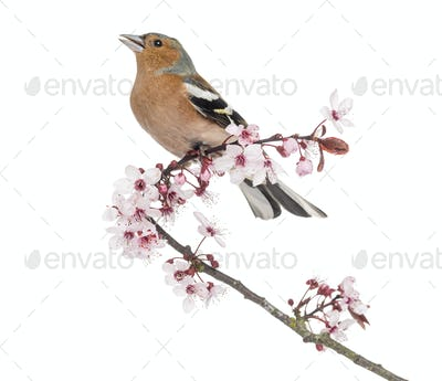 Common Chaffinch perched on Japanese cherry branch, tweeting -Fringilla coelebs - isolated on white