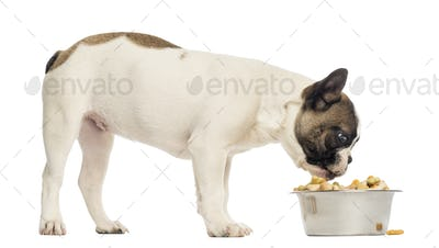 French Bulldog puppy eating from a full bowl, 4 months old, isolated on white