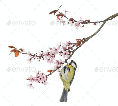Blue Tit hanging on to a blossoming branch, Cyanistes caeruleus, isolated on white