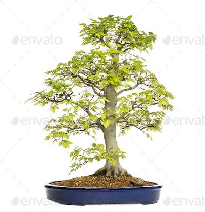 Beech bonsai tree, fagus sylvatica, isolated on white