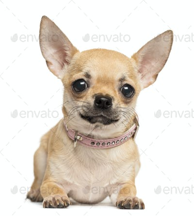 Chihuahua lying, looking at the camera, 10 months old, isolated on white