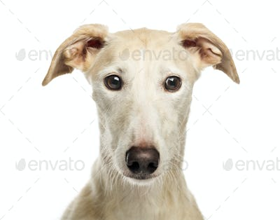 Close-up of a Spanish galgo, 6 years old, isolated on white