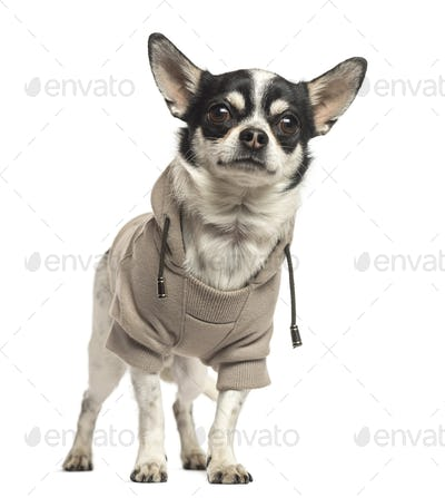 Standing Chihuahua wearing a sweater, 18 months old, isolated on white