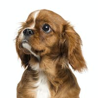 Close-up of a one-eyed Cavalier King Charles puppy, 4 months old, isolated on white