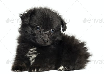 German Spitz puppy lying down, 8 weeks old, isolated on white