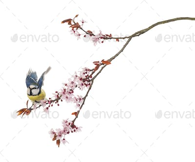 Blue Tit flying away from a blossoming branch, Cyanistes caeruleus, isolated on white