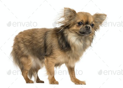 Side view of a Chihuahua standing, 18 months old, isolated on white