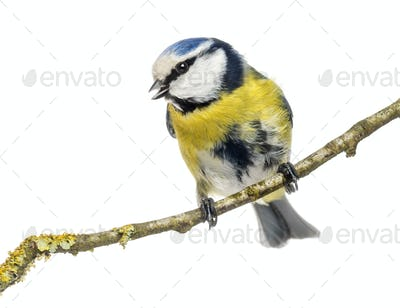 Wistling Blue Tit perched on a branch, Cyanistes caeruleus, isolated on white