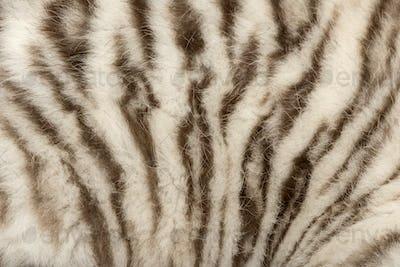 Macro of a White tiger fur