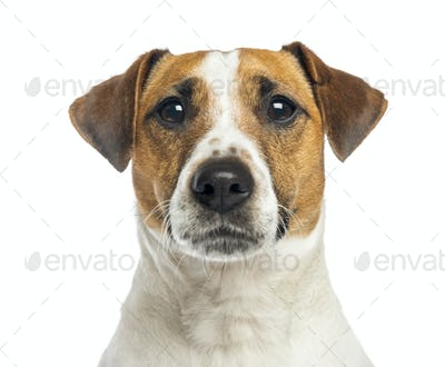 Close-up of a Jack Russell Terrier, 2 years old, isolated on white