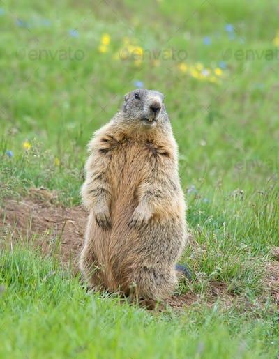 Sentinel marmot