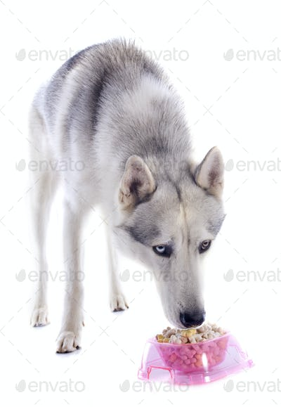 eating siberian husky